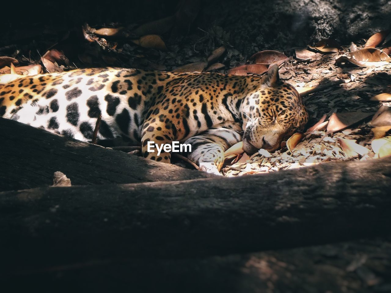animal, animal themes, mammal, feline, vertebrate, relaxation, big cat, animals in the wild, animal wildlife, no people, selective focus, carnivora, day, cat, one animal, nature, animal markings, resting, wood - material, lying down, whisker