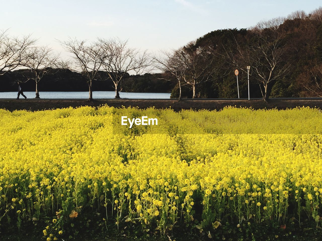 yellow, plant, beauty in nature, growth, sky, flower, landscape, tree, land, tranquil scene, scenics - nature, flowering plant, tranquility, field, agriculture, nature, day, environment, rural scene, no people, outdoors, springtime, flowerbed