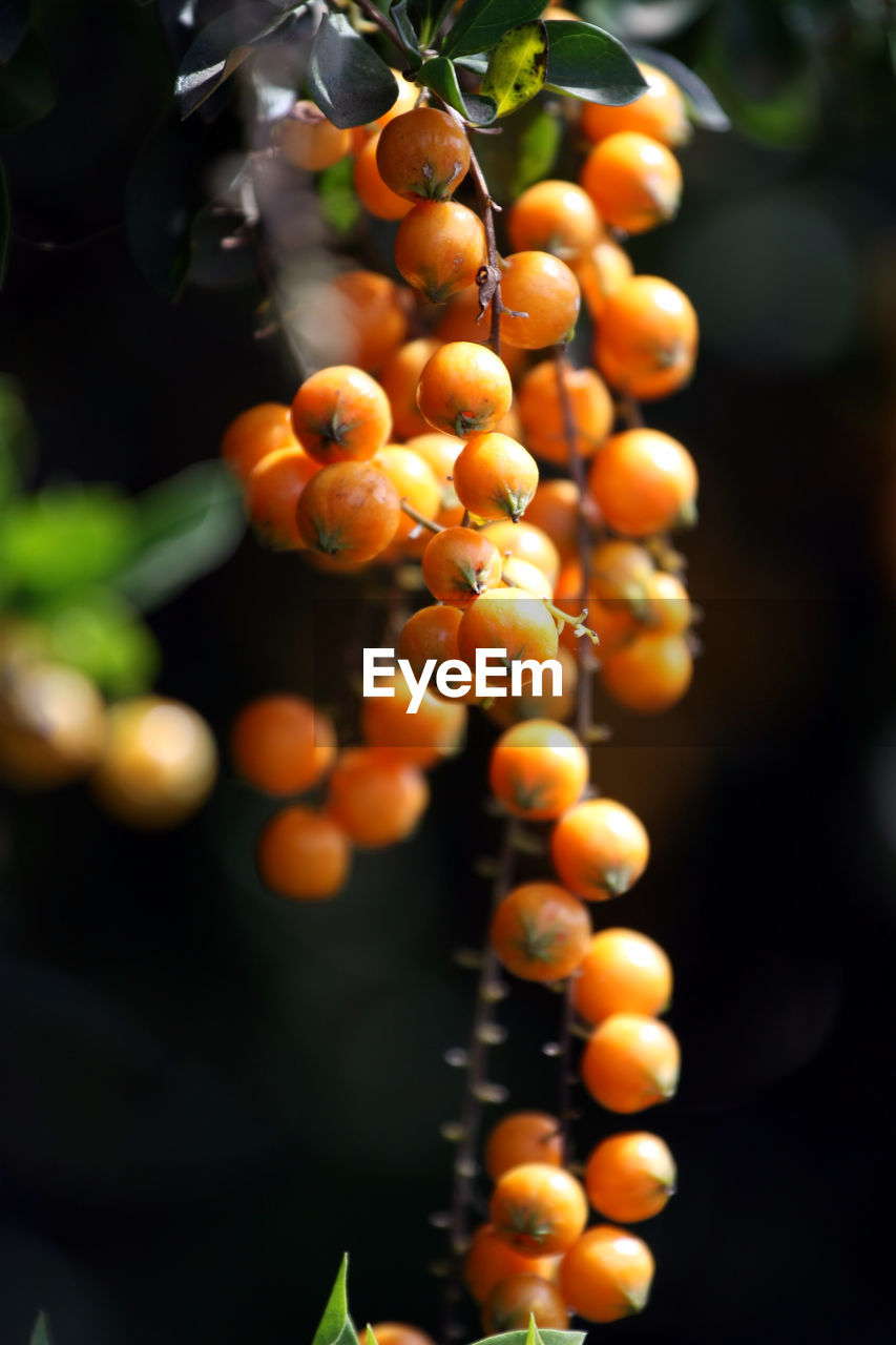 fruit, healthy eating, food and drink, food, growth, freshness, wellbeing, close-up, plant, no people, orange color, focus on foreground, day, nature, bunch, selective focus, berry fruit, outdoors, ripe, tree, rowanberry, orange