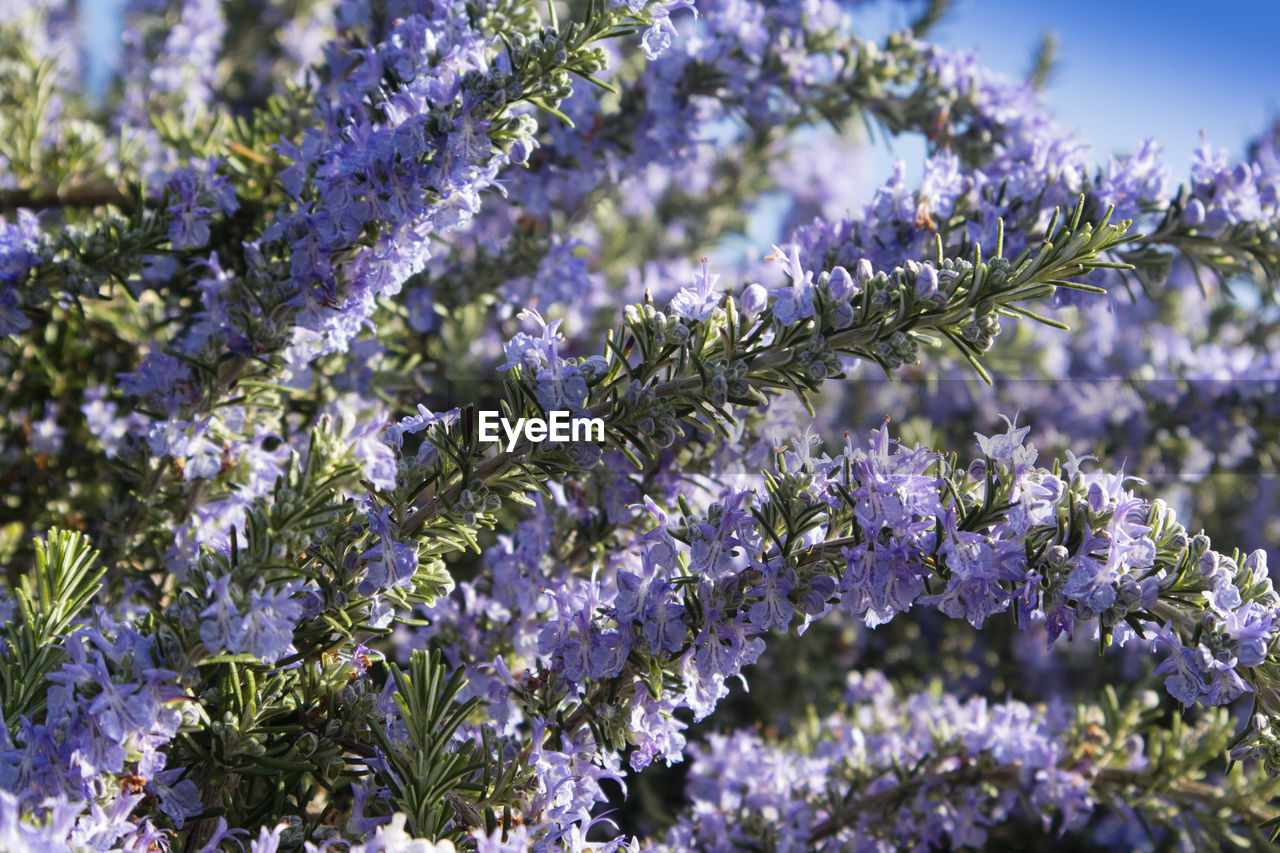 flower, flowering plant, plant, beauty in nature, fragility, freshness, vulnerability, growth, purple, close-up, nature, selective focus, no people, springtime, day, blossom, botany, petal, tree, flower head, lavender, outdoors