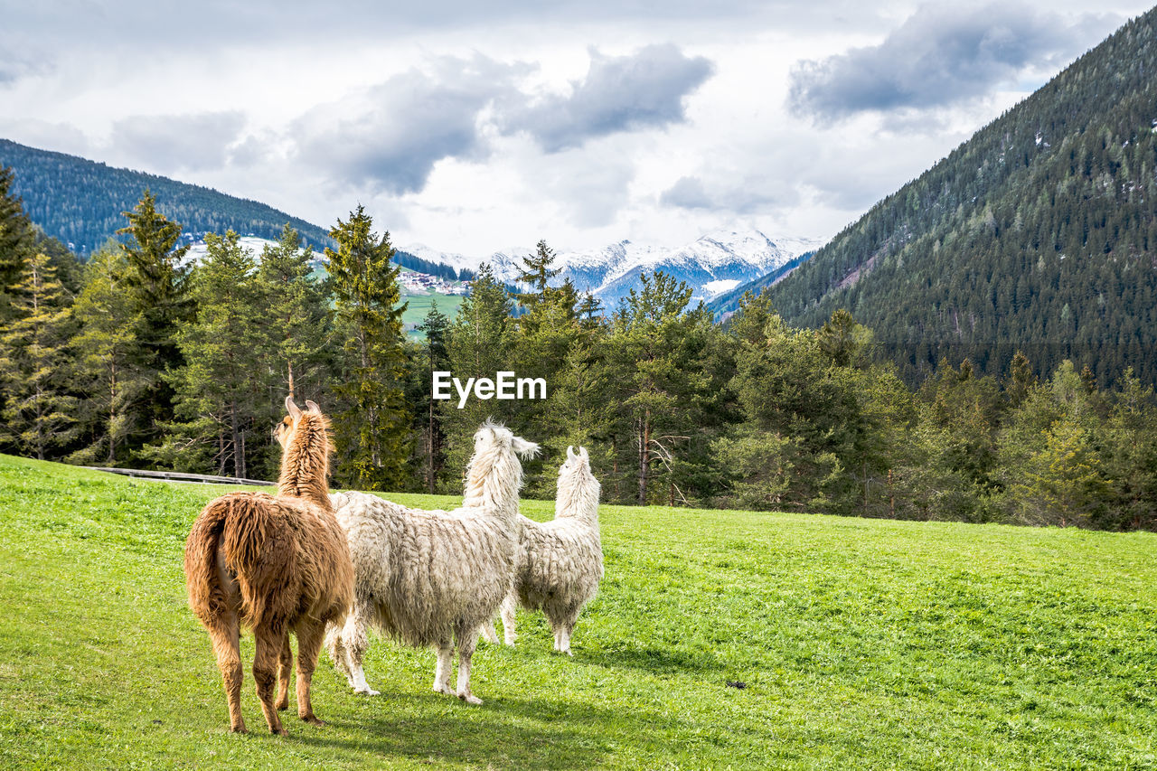 plant, tree, mammal, animal, livestock, animal themes, sky, mountain, grass, domestic animals, beauty in nature, field, cloud - sky, nature, land, domestic, vertebrate, group of animals, pets, green color, no people, mountain range, herbivorous, outdoors