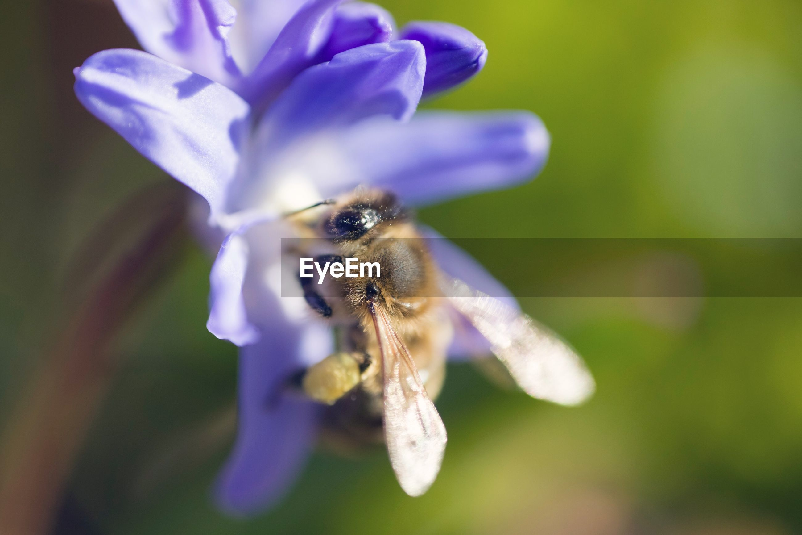flower, one animal, nature, insect, fragility, petal, animal themes, purple, beauty in nature, animals in the wild, plant, close-up, growth, focus on foreground, day, outdoors, flower head, no people, bee, animal wildlife, freshness, pollination