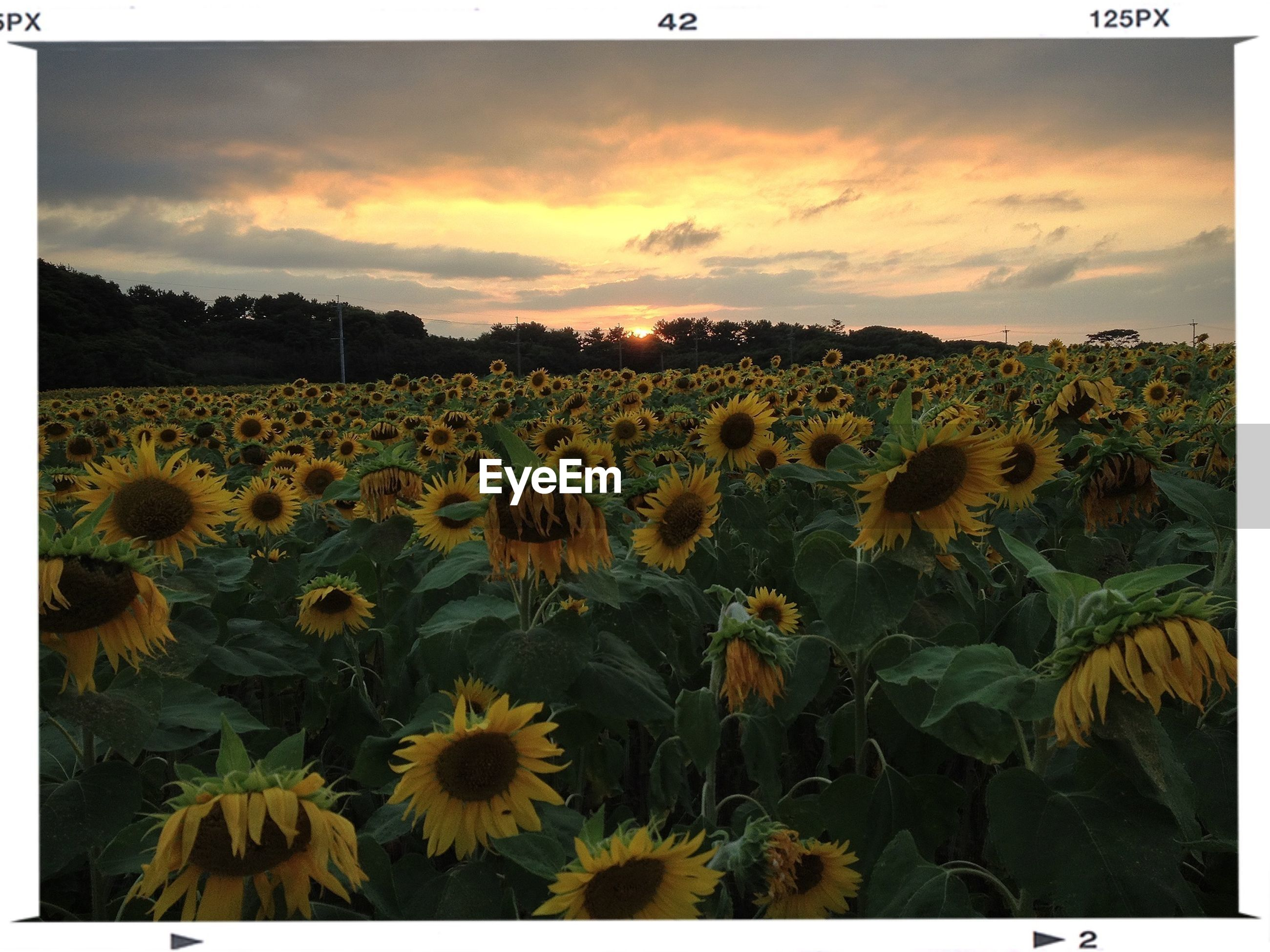 flower, yellow, field, beauty in nature, growth, transfer print, agriculture, landscape, rural scene, sky, nature, freshness, tranquil scene, plant, sunflower, tranquility, scenics, auto post production filter, farm, fragility