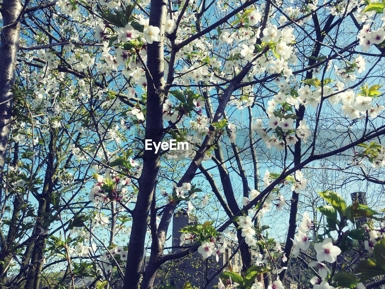 flower, tree, blossom, branch, growth, nature, fragility, springtime, beauty in nature, freshness, apple blossom, orchard, day, no people, low angle view, outdoors, spring, backgrounds, flower head, close-up, sky