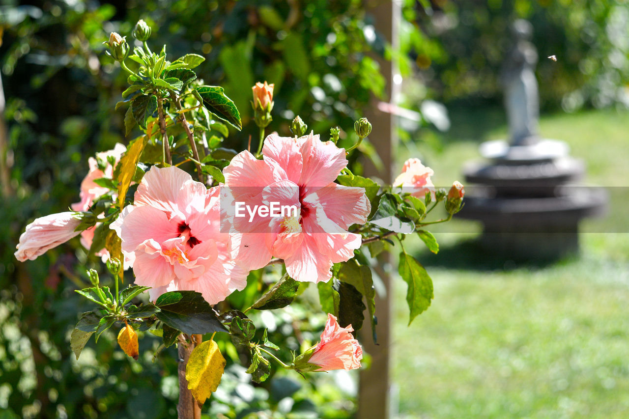 plant, flower, flowering plant, freshness, beauty in nature, fragility, growth, vulnerability, petal, pink color, focus on foreground, close-up, day, no people, nature, green color, flower head, inflorescence, leaf, plant part, outdoors
