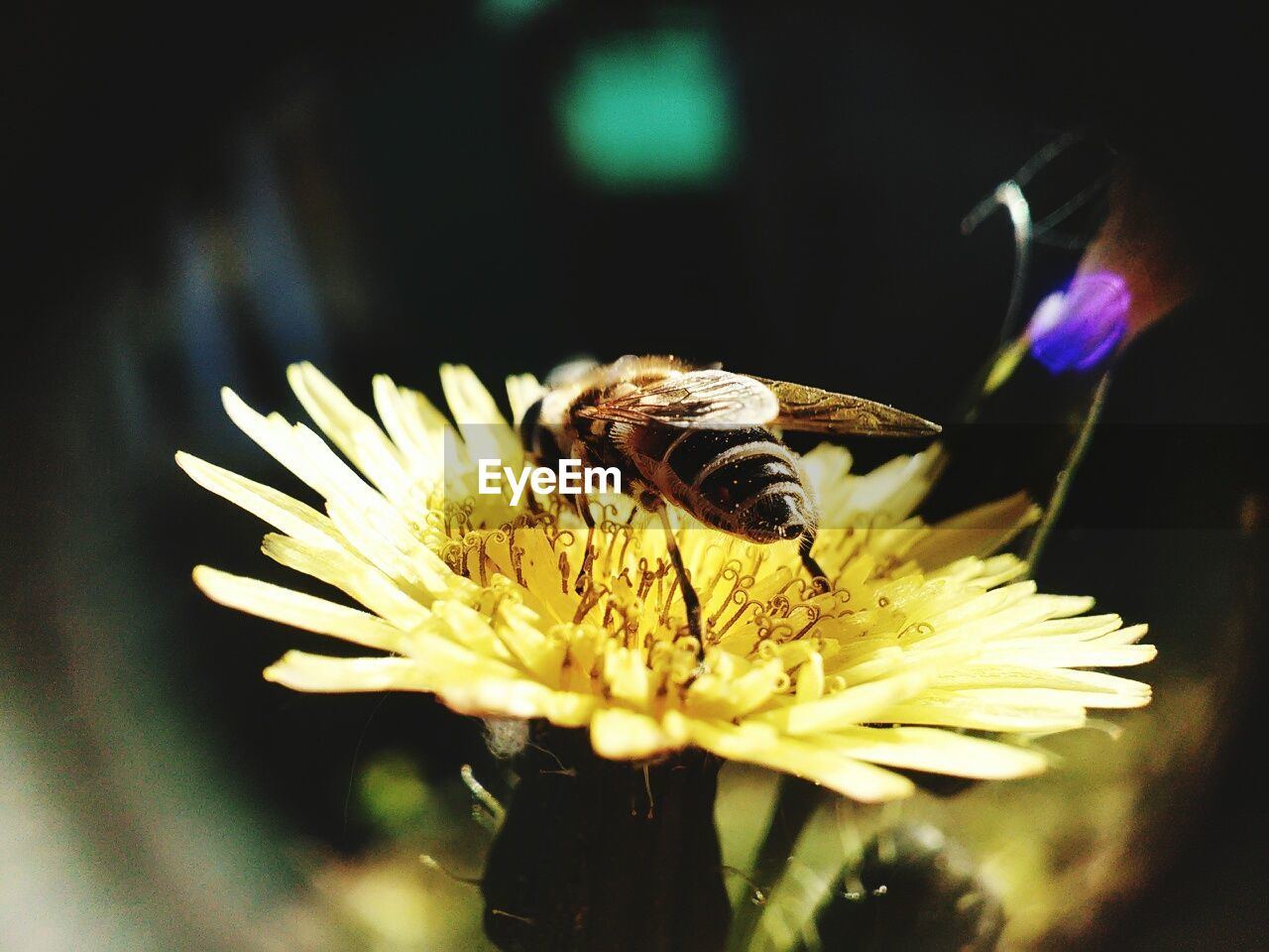 flower, fragility, insect, nature, animal themes, one animal, petal, animals in the wild, beauty in nature, freshness, flower head, no people, close-up, pollination, plant, bee, growth, day, outdoors