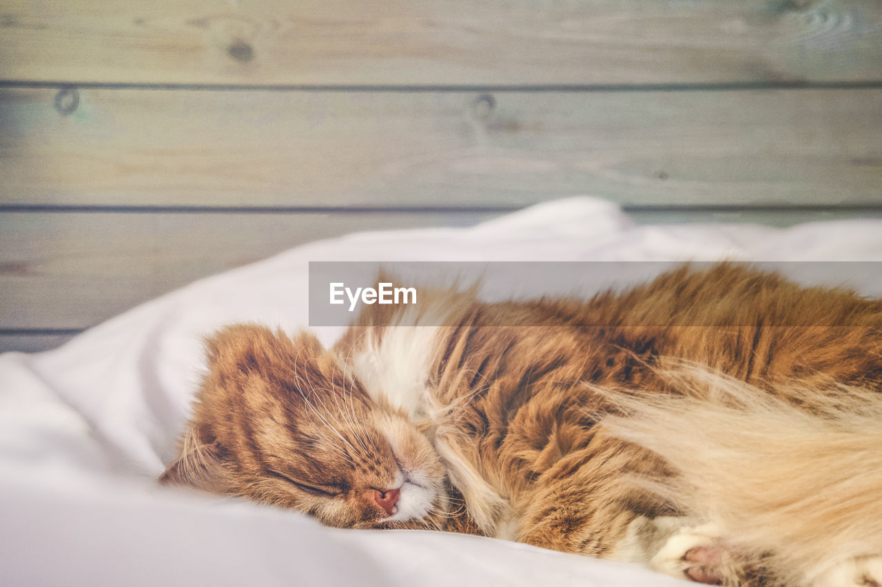 Cute red cat sleeping on white blanket on the bed against a wooden wall.