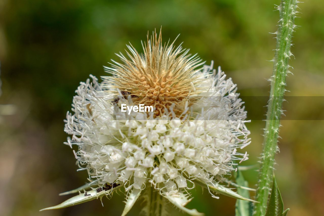 flower, flowering plant, plant, vulnerability, fragility, close-up, beauty in nature, growth, freshness, flower head, nature, inflorescence, focus on foreground, white color, no people, day, selective focus, petal, outdoors, pollen, spiky, dandelion seed