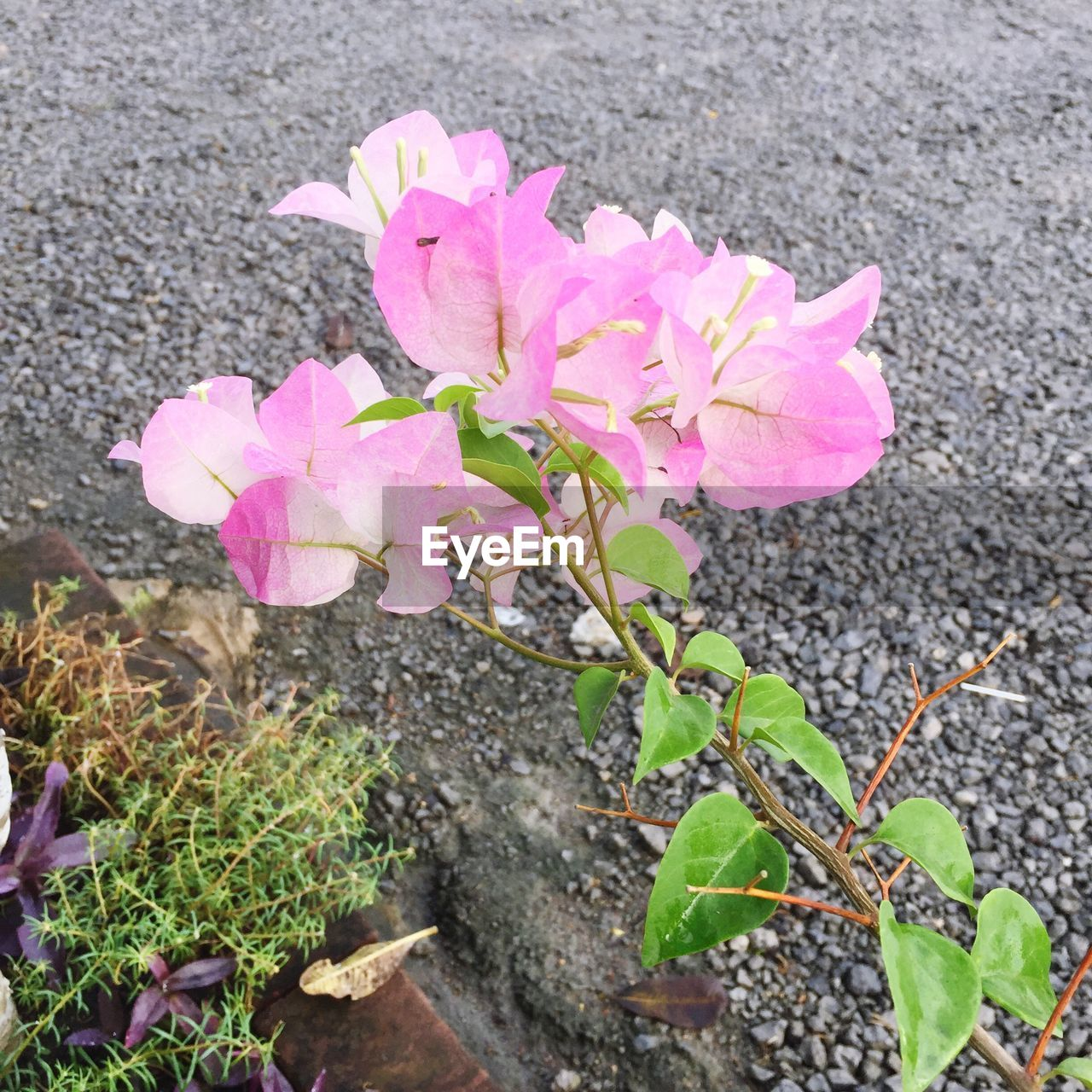 flower, growth, nature, plant, pink color, fragility, petal, high angle view, no people, outdoors, leaf, flower head, beauty in nature, freshness, day, blooming, road, close-up, springtime, periwinkle