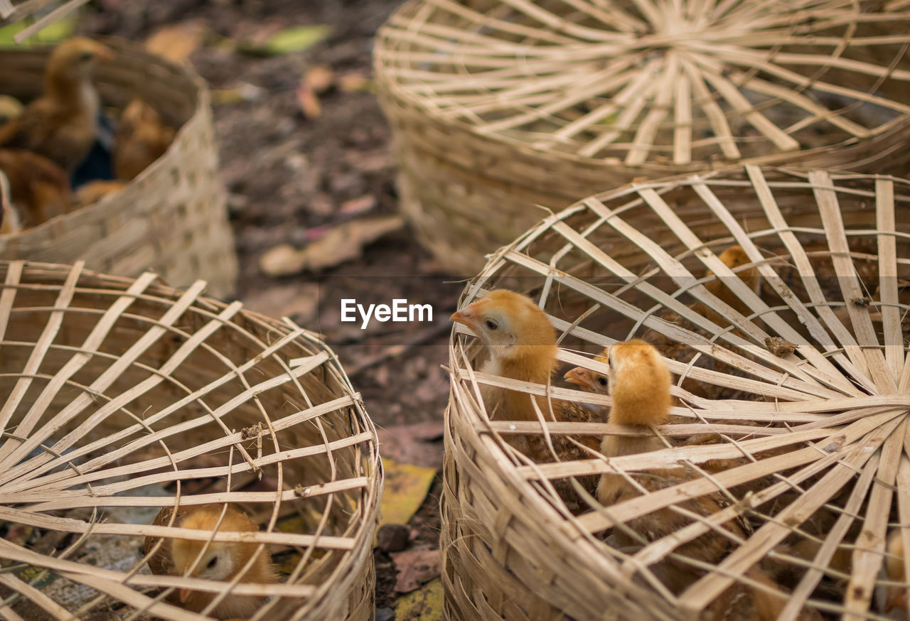 Close-Up Of Baby Chickens In Baskets