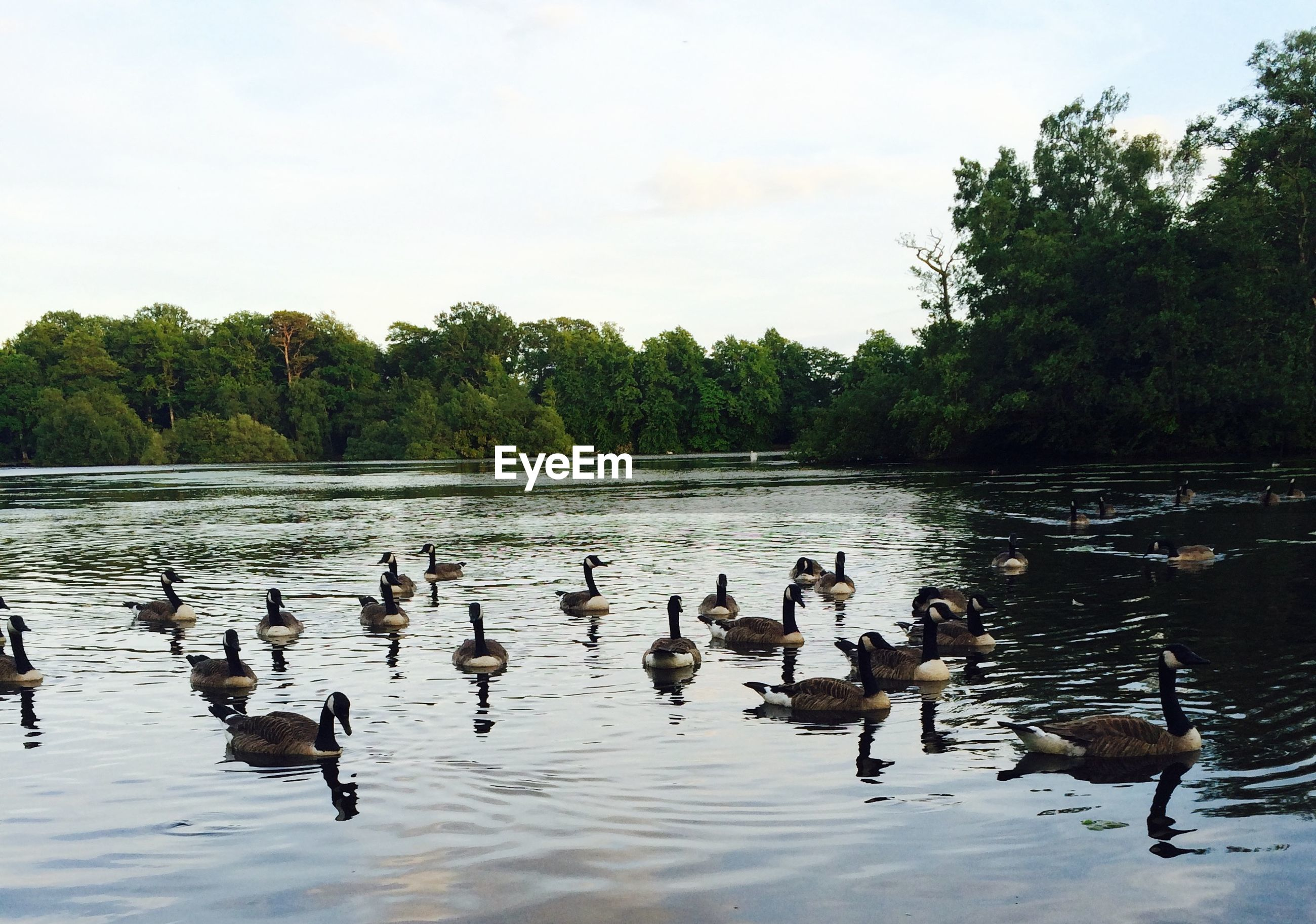 bird, animal themes, animals in the wild, water, wildlife, lake, duck, flock of birds, medium group of animals, swimming, reflection, tree, nature, waterfront, water bird, sky, beauty in nature, tranquil scene, tranquility