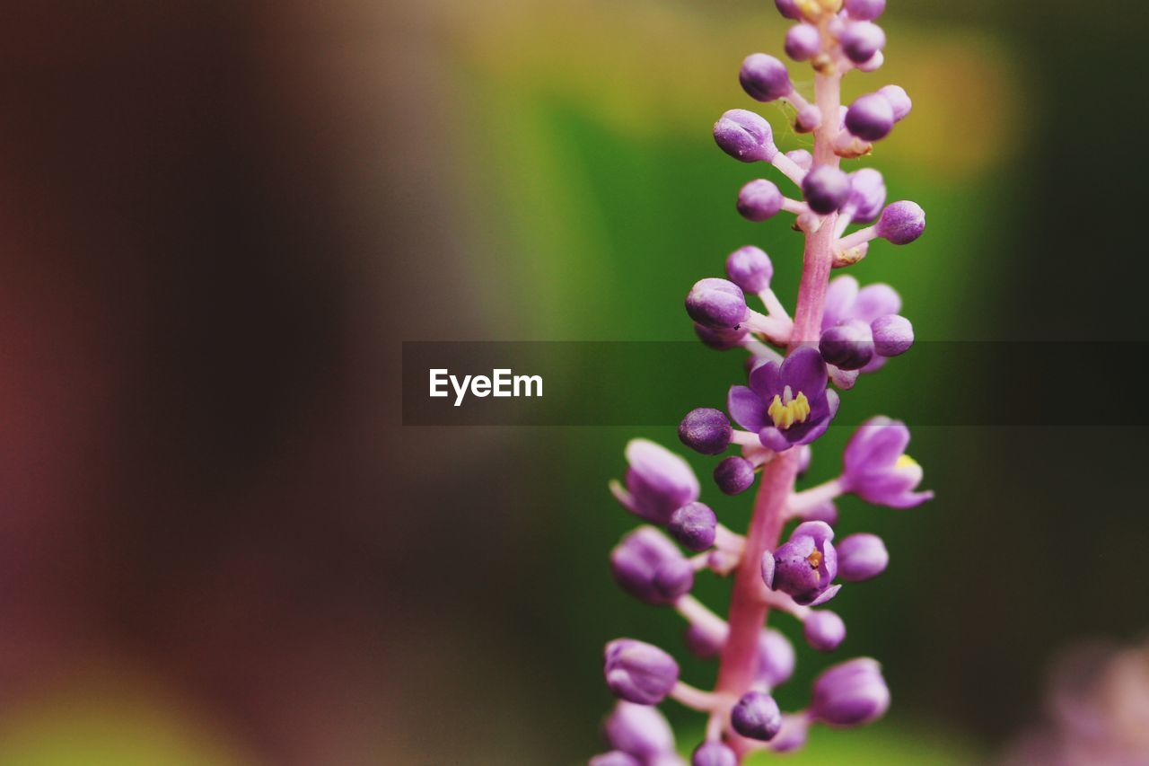 vulnerability, beauty in nature, flowering plant, flower, fragility, plant, close-up, selective focus, growth, freshness, purple, no people, day, focus on foreground, nature, pink color, petal, outdoors, botany, inflorescence, flower head, lilac