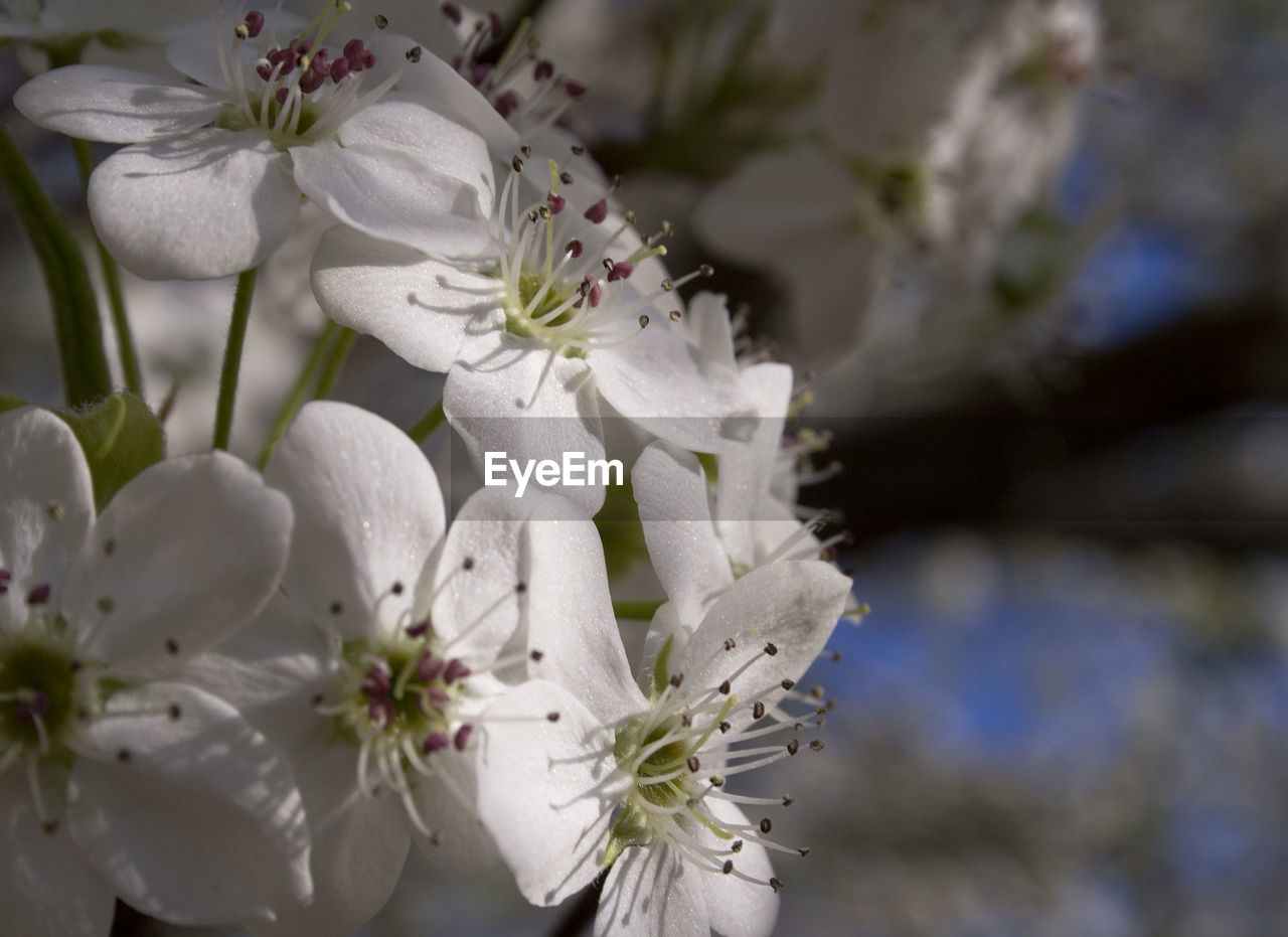 Close-up of cherry blossoms blooming on sunny day