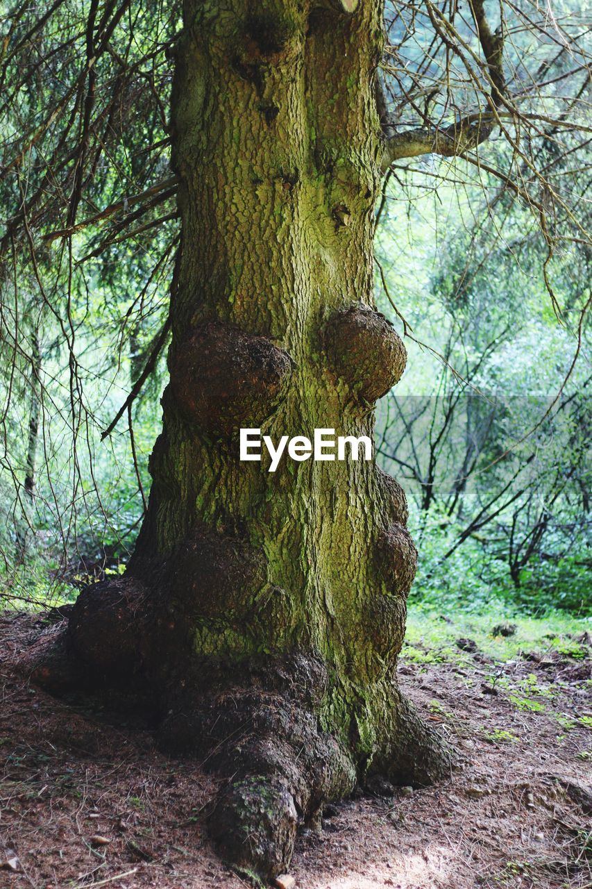 tree, plant, tree trunk, trunk, forest, land, nature, day, growth, tranquility, no people, outdoors, beauty in nature, environment, branch, moss, woodland, bark, textured, tranquil scene