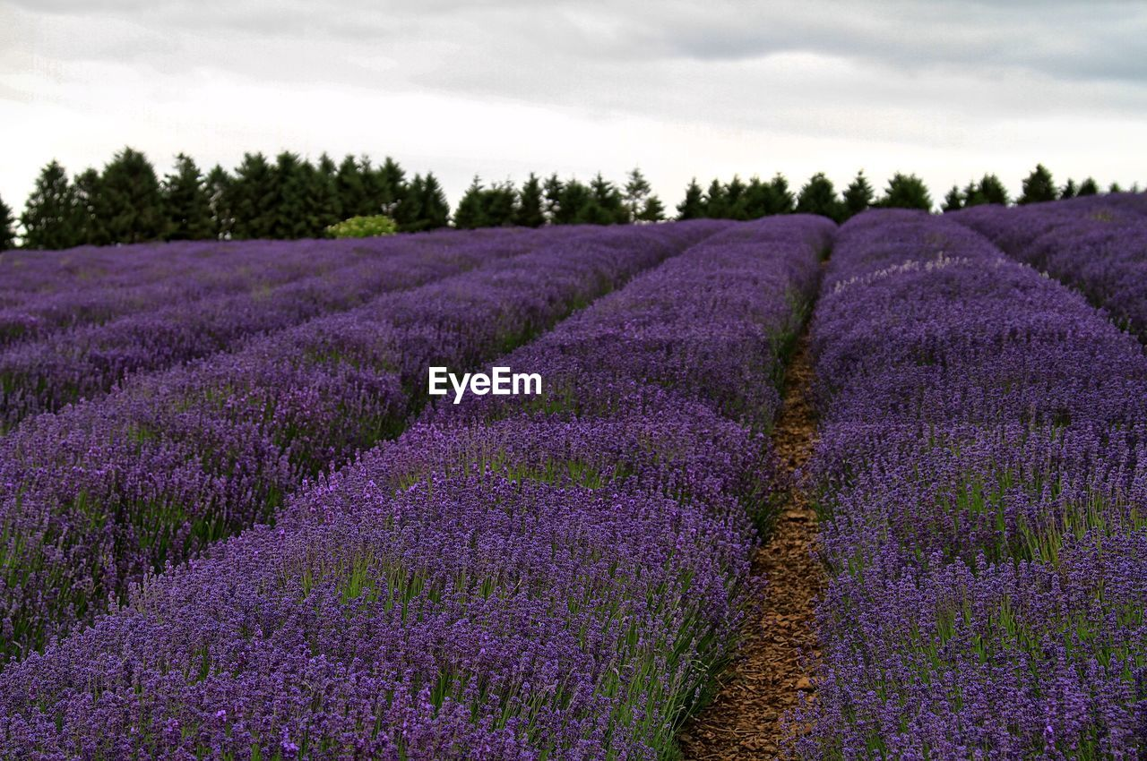 purple, lavender, field, lavender colored, agriculture, farm, flower, beauty in nature, growth, nature, rural scene, no people, plant, landscape, outdoors, freshness, day, sky, scenics, crocus