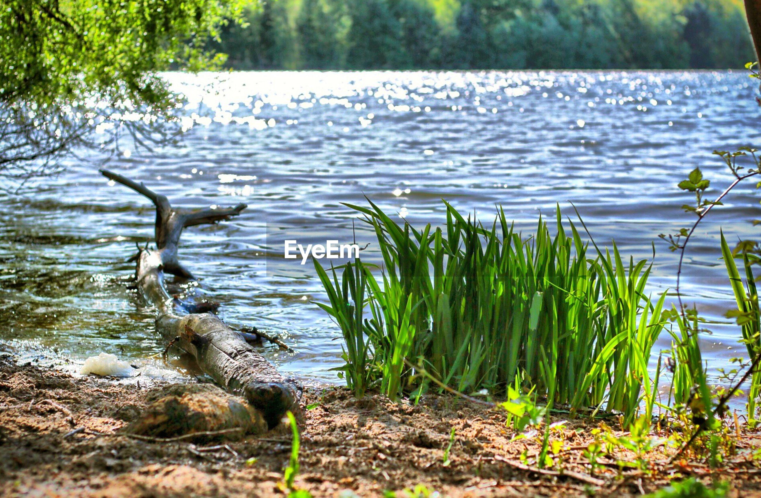 water, lake, tranquility, reflection, plant, nature, growth, lakeshore, grass, beauty in nature, tranquil scene, scenics, rippled, idyllic, day, outdoors, no people, growing, green color, forest