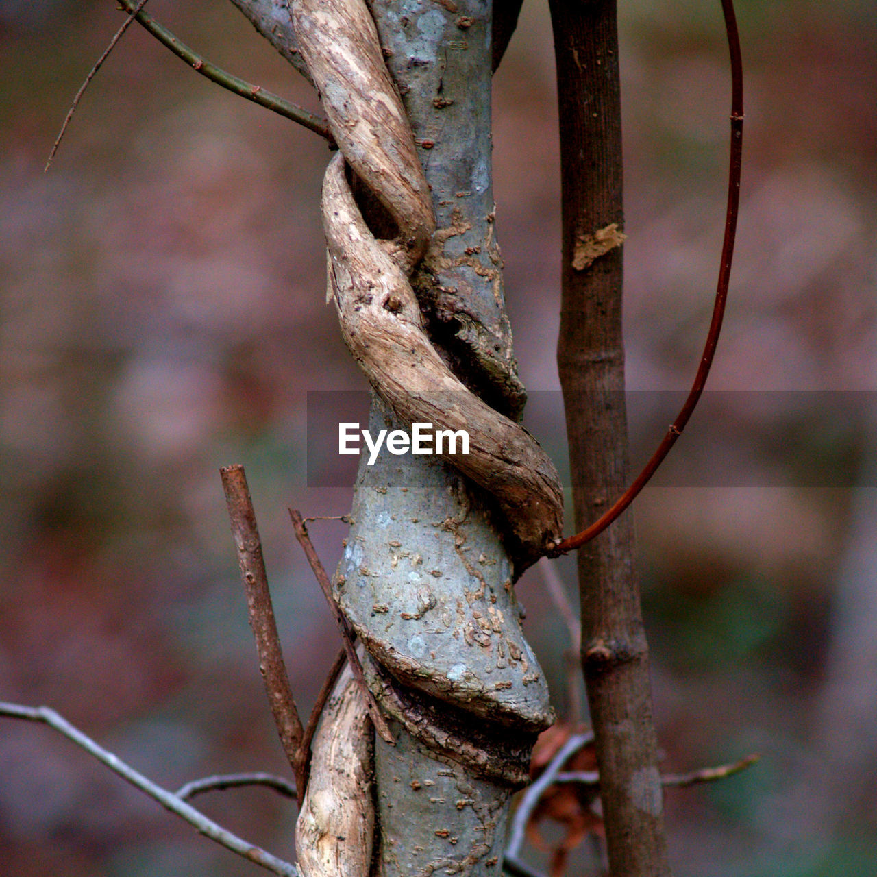 Close-up of intertwined branch against blurred background