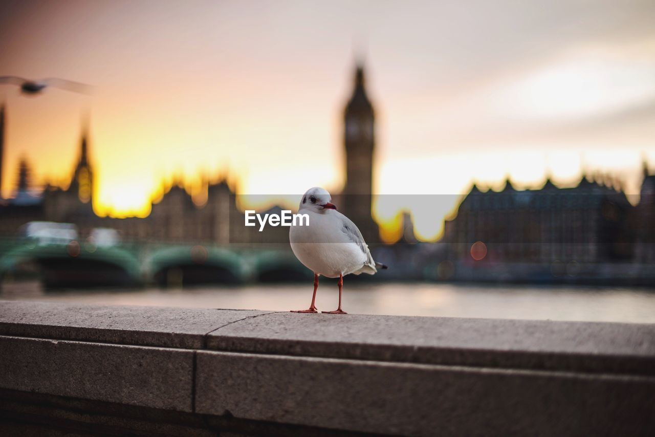 Seagull perching on retaining wall by big ben against sky during sunset