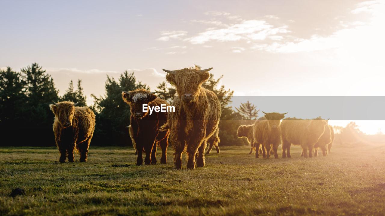 Highland Cattle On Landscape Against Sky