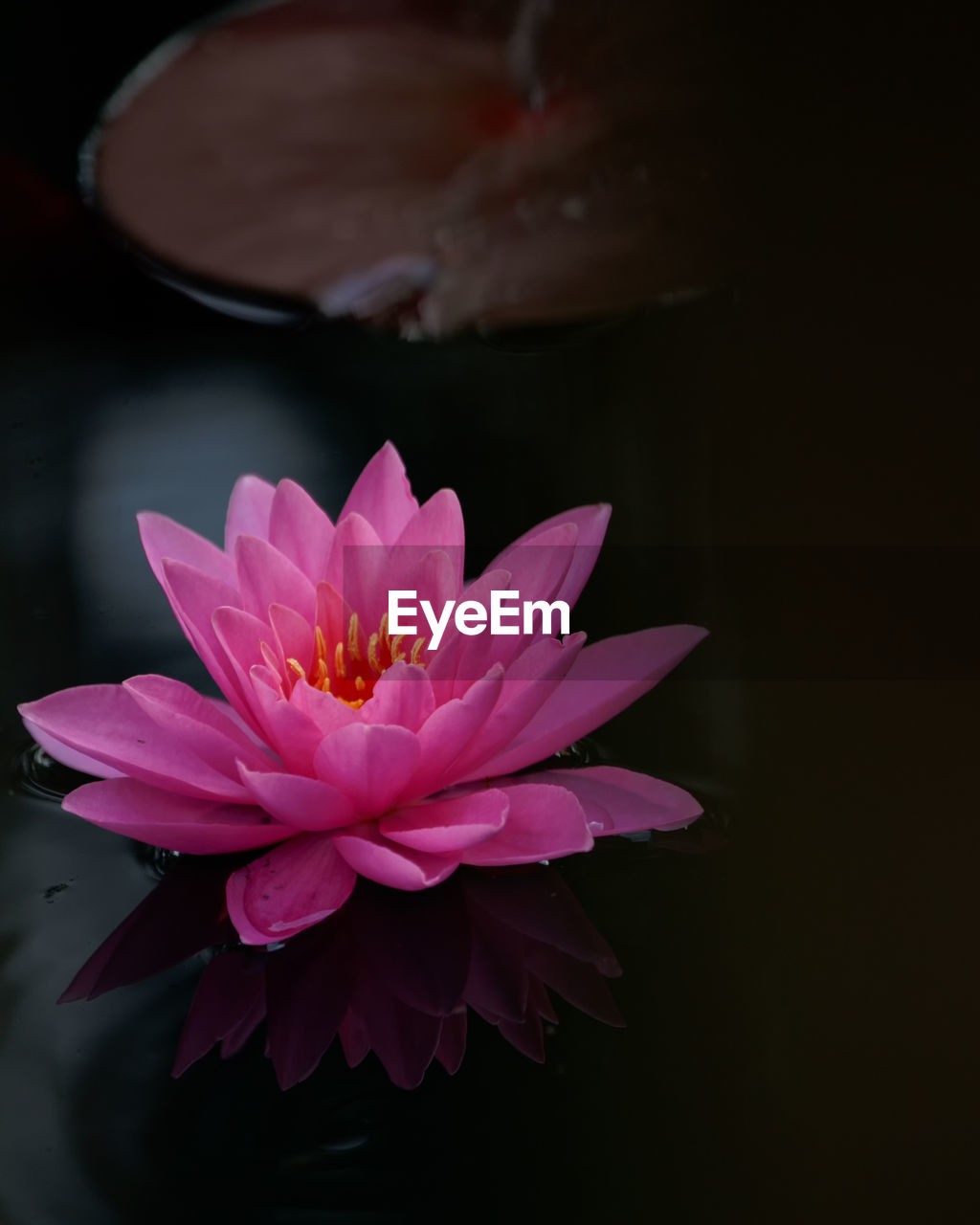 flowering plant, flower, freshness, beauty in nature, petal, plant, vulnerability, inflorescence, flower head, fragility, water lily, close-up, pink color, nature, water, no people, growth, lotus water lily, pollen, black background, floating on water, purple