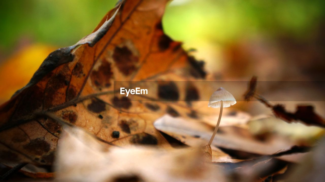 leaf, autumn, change, dry, nature, fragility, beauty in nature, close-up, maple leaf, no people, outdoors, maple, day