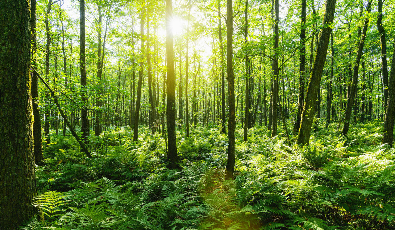forest, tree, plant, land, woodland, beauty in nature, tranquility, growth, green color, nature, scenics - nature, tranquil scene, sunlight, no people, non-urban scene, tree trunk, day, trunk, environment, lush foliage, outdoors, streaming