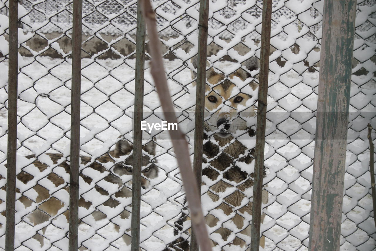 Wolves Behind Fence