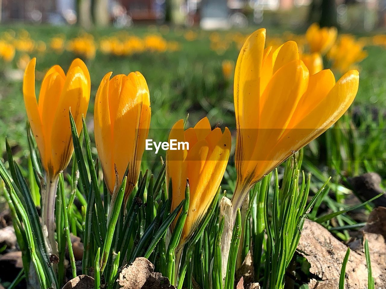 flower, flowering plant, plant, growth, freshness, beauty in nature, yellow, fragility, field, vulnerability, flower head, petal, close-up, land, inflorescence, nature, no people, day, tulip, botany, crocus, outdoors, iris, springtime, flowerbed