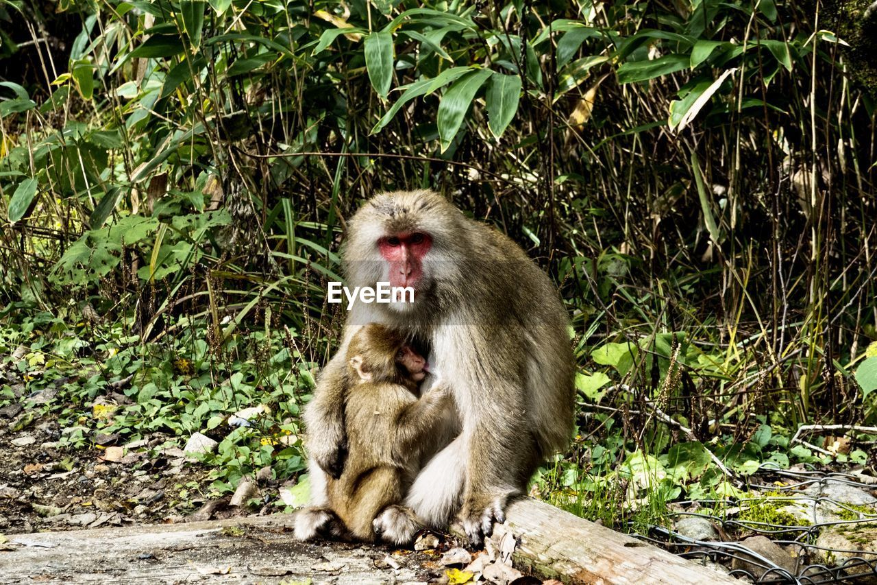 primate, mammal, animals in the wild, animal wildlife, group of animals, young animal, two animals, vertebrate, sitting, day, nature, no people, togetherness, outdoors, animal family, land, care