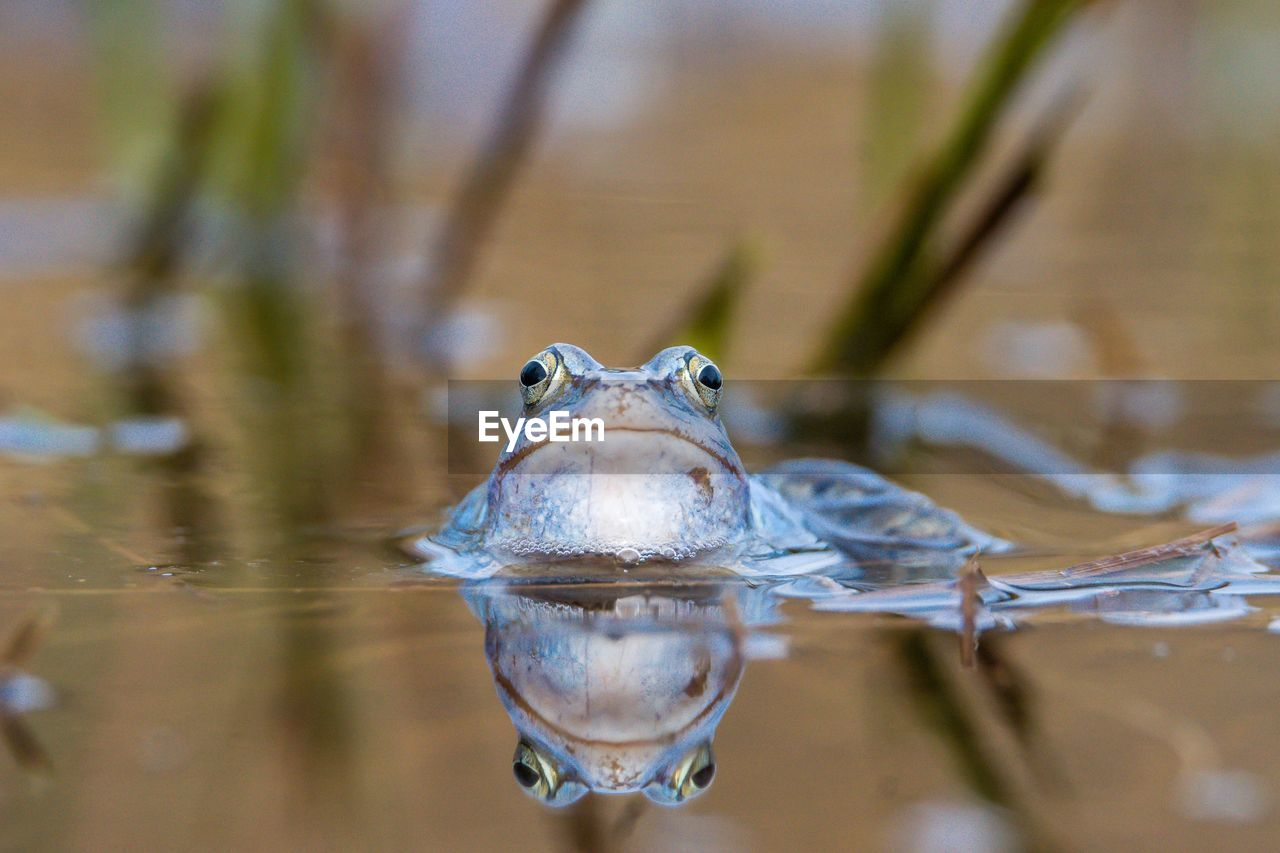 Close-Up Portrait Of Frog Swimming In Lake