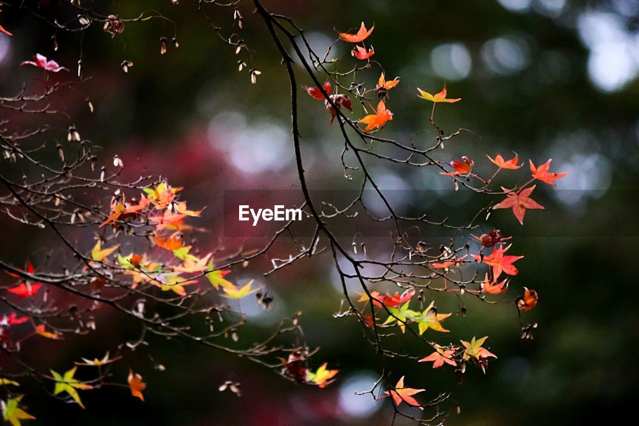 Close-up of autumn leaves on branches