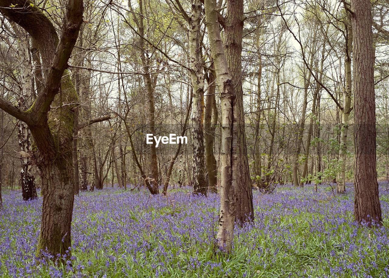 Trees On Bluebell Flowers Field At Forest