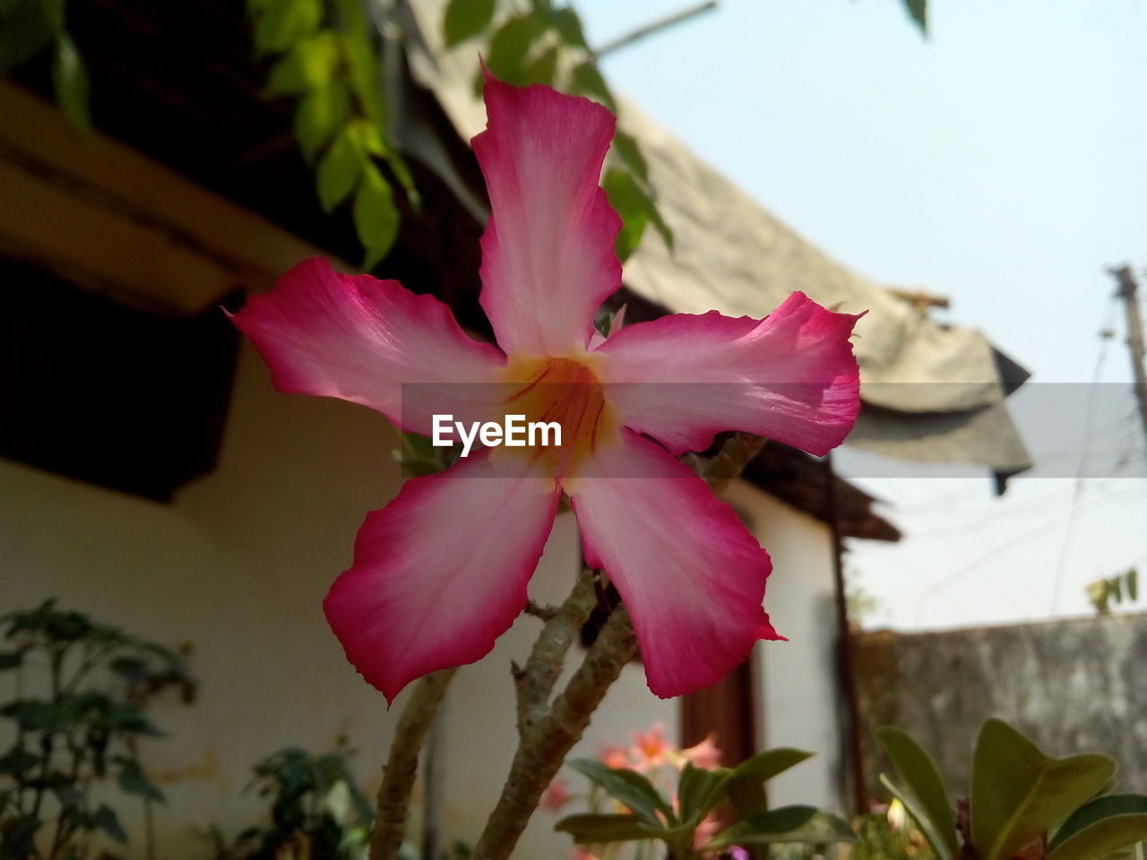 flower, pink color, petal, fragility, flower head, beauty in nature, growth, nature, no people, close-up, focus on foreground, day, freshness, outdoors, plant, blooming, hibiscus, building exterior, periwinkle