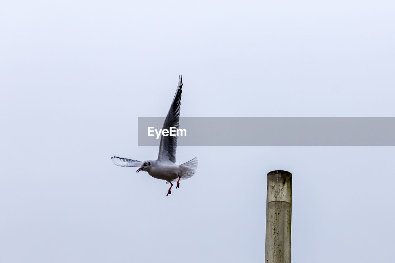 flying, animal wildlife, animal themes, animal, bird, animals in the wild, vertebrate, spread wings, one animal, sky, clear sky, mid-air, low angle view, copy space, no people, nature, day, seagull, motion, outdoors