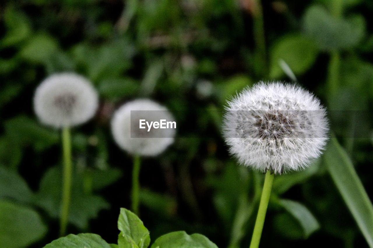 growth, plant, flower, dandelion, nature, fragility, softness, uncultivated, freshness, beauty in nature, flower head, close-up, no people, outdoors, day