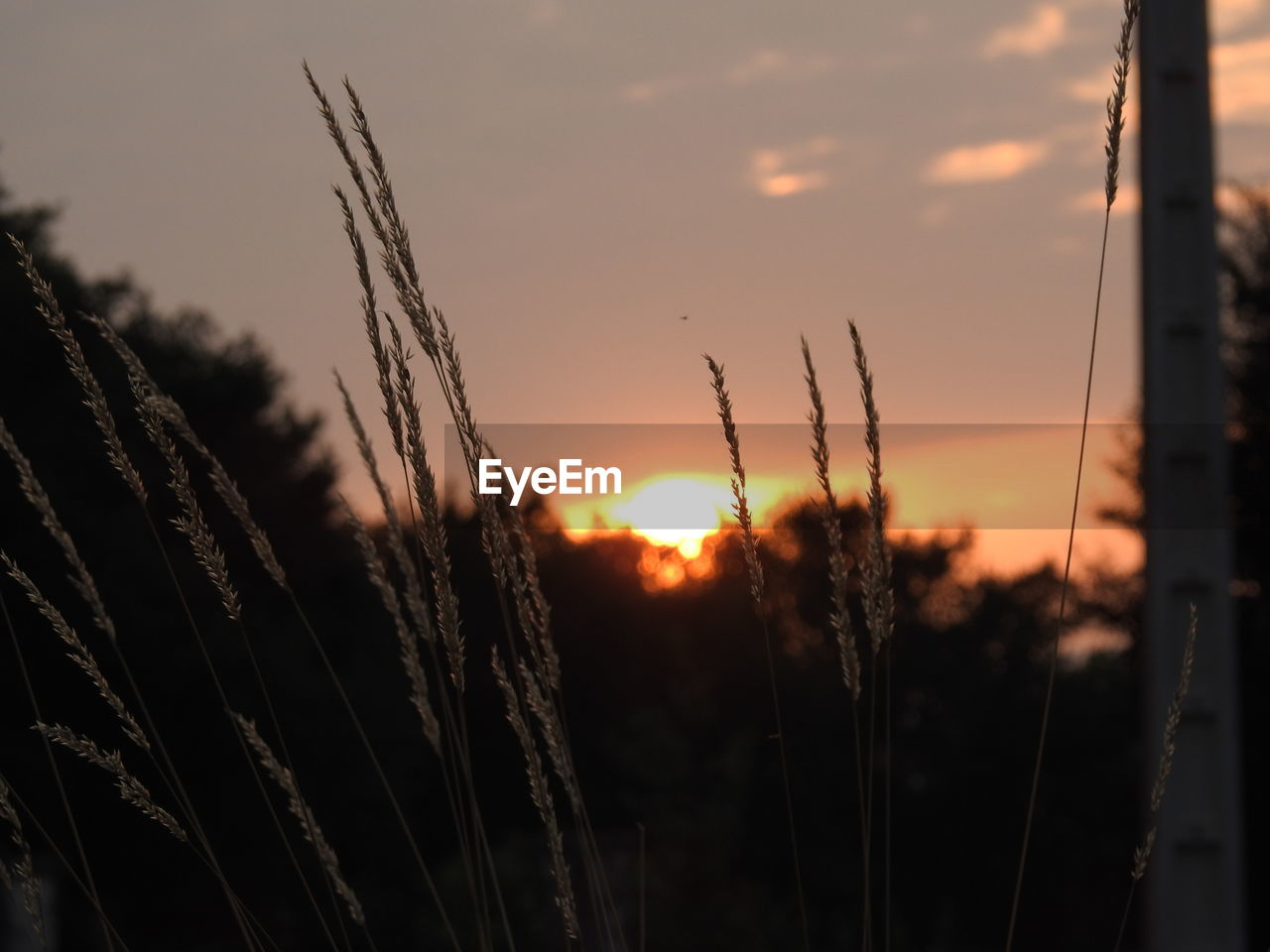 growth, sunset, nature, beauty in nature, plant, tranquil scene, farm, tranquility, agriculture, field, scenics, cereal plant, crop, no people, wheat, outdoors, silhouette, rural scene, ear of wheat, sky, close-up, day