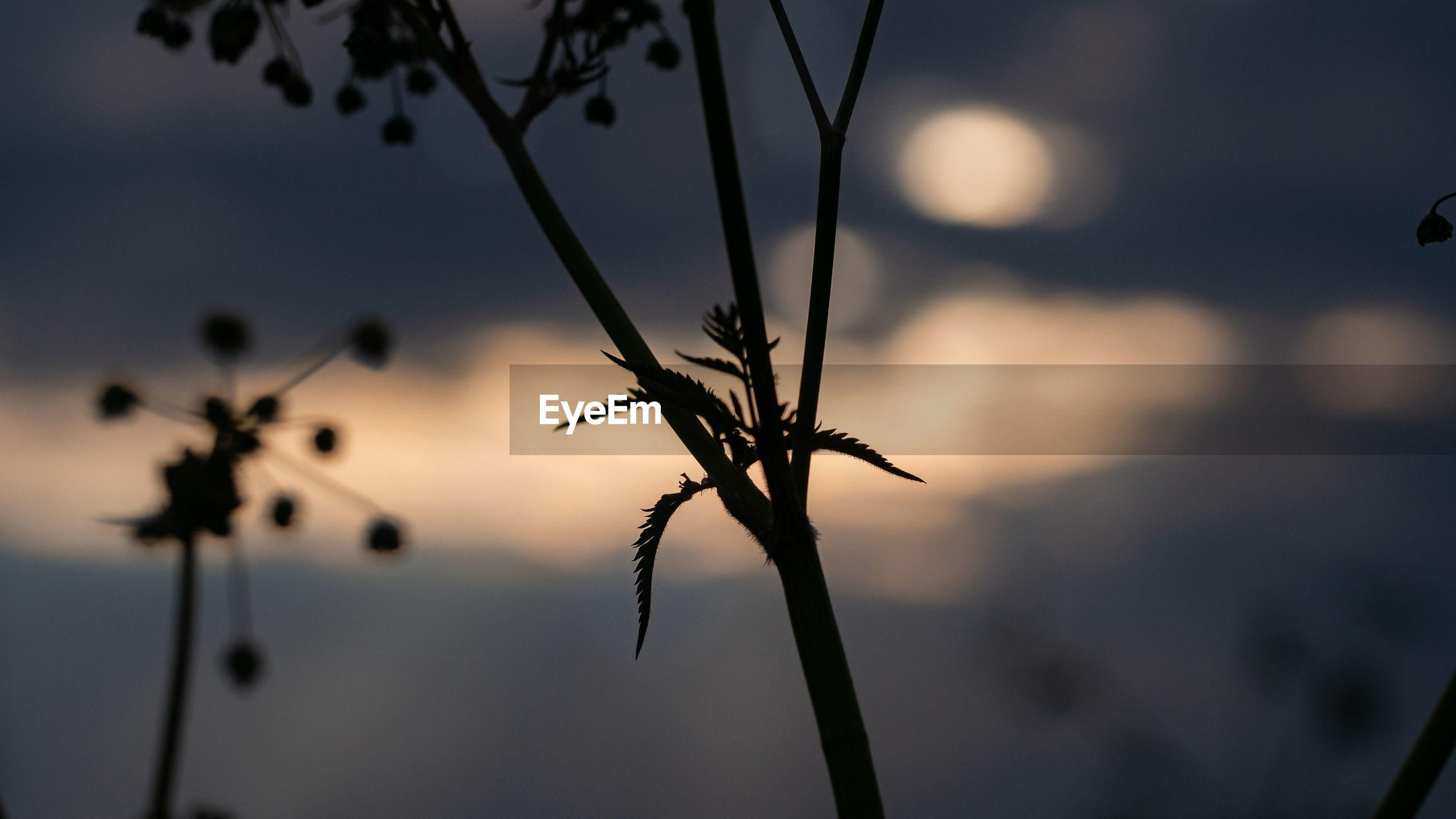 CLOSE-UP OF DRY PLANT AGAINST SKY AT SUNSET