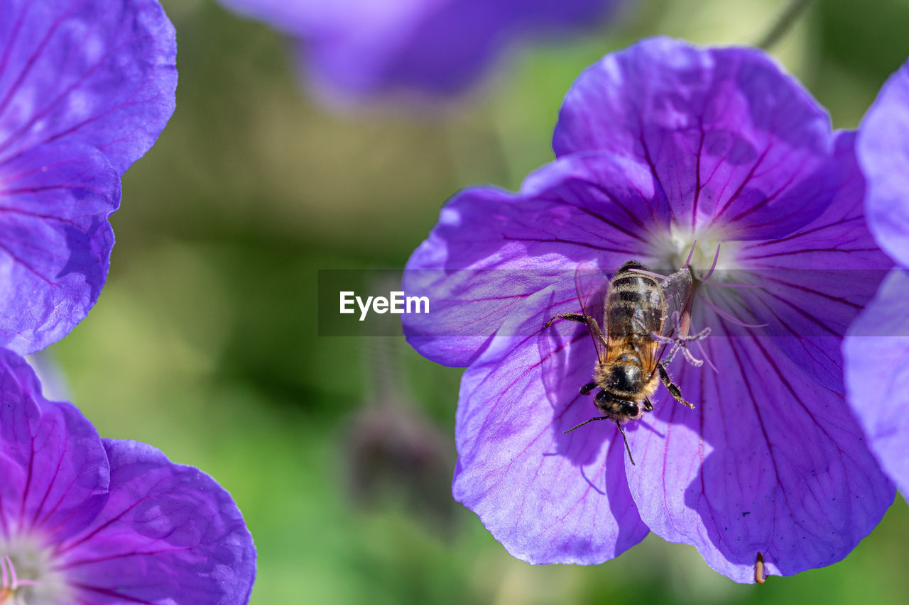 flowering plant, flower, animals in the wild, animal themes, invertebrate, insect, petal, animal, animal wildlife, one animal, vulnerability, beauty in nature, fragility, plant, flower head, bee, purple, growth, freshness, close-up, pollination, no people, pollen, bumblebee