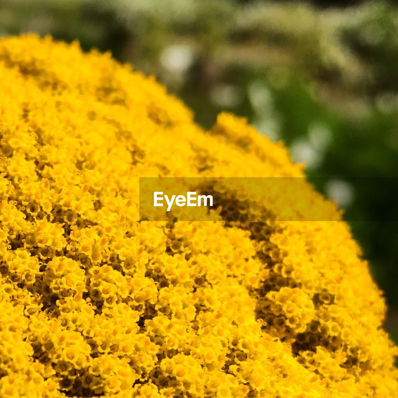 yellow, flower, flowering plant, plant, beauty in nature, freshness, vulnerability, fragility, growth, close-up, nature, selective focus, flower head, day, petal, no people, botany, inflorescence, land, field, outdoors, springtime, flowerbed