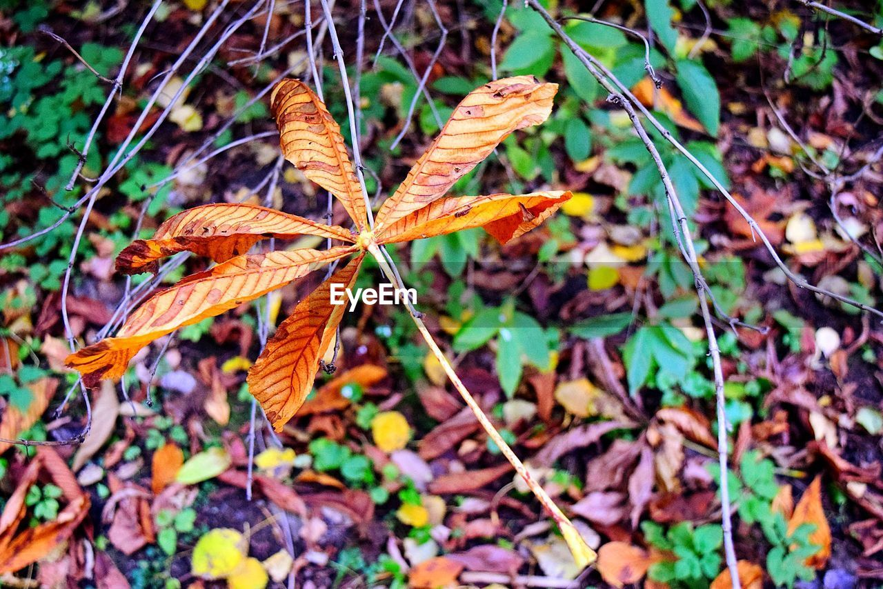 leaf, autumn, nature, dry, change, day, fragility, growth, beauty in nature, outdoors, plant, no people, close-up, maple, freshness