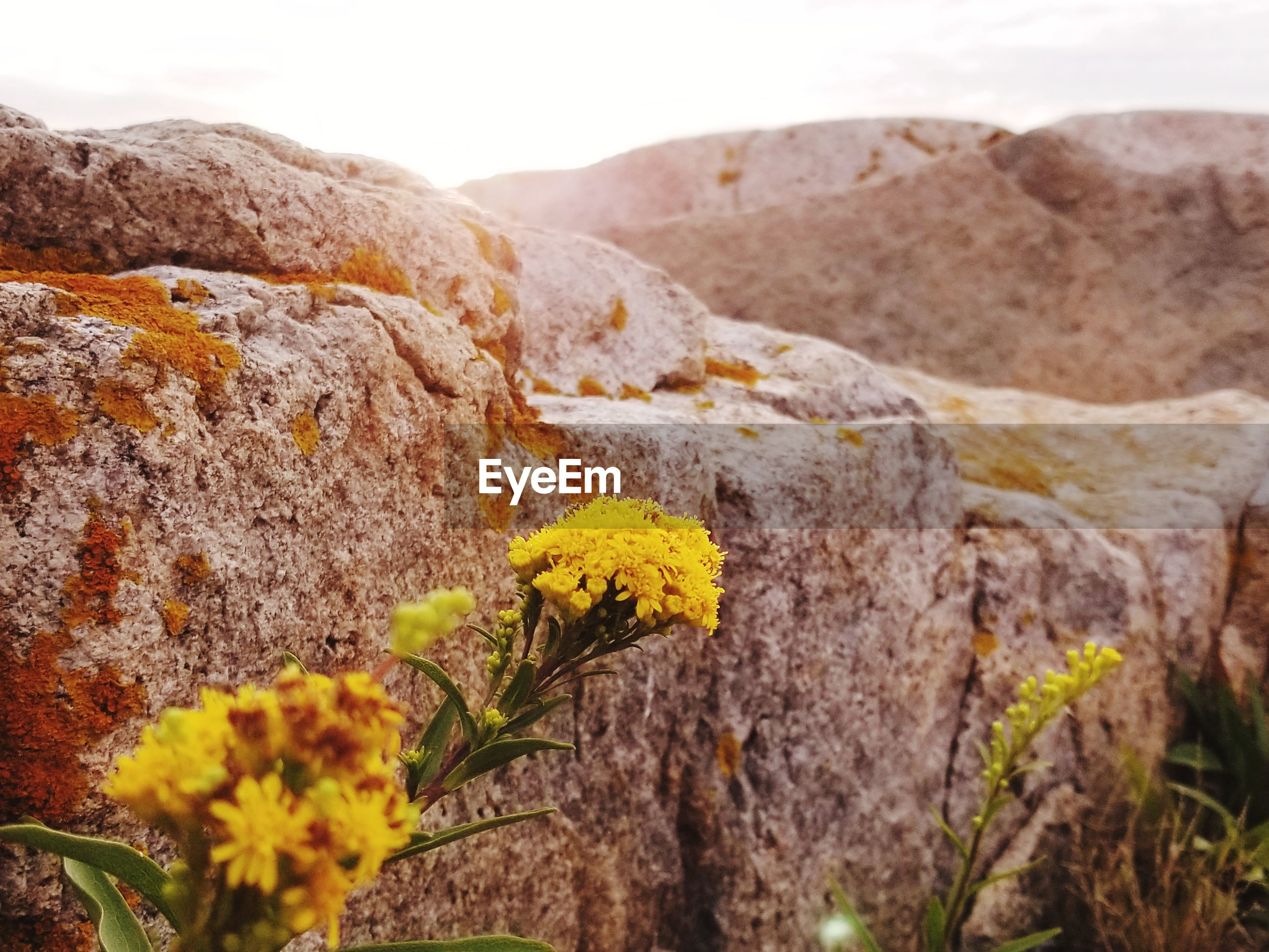 CLOSE-UP OF YELLOW FLOWERING PLANT GROWING ON ROCK