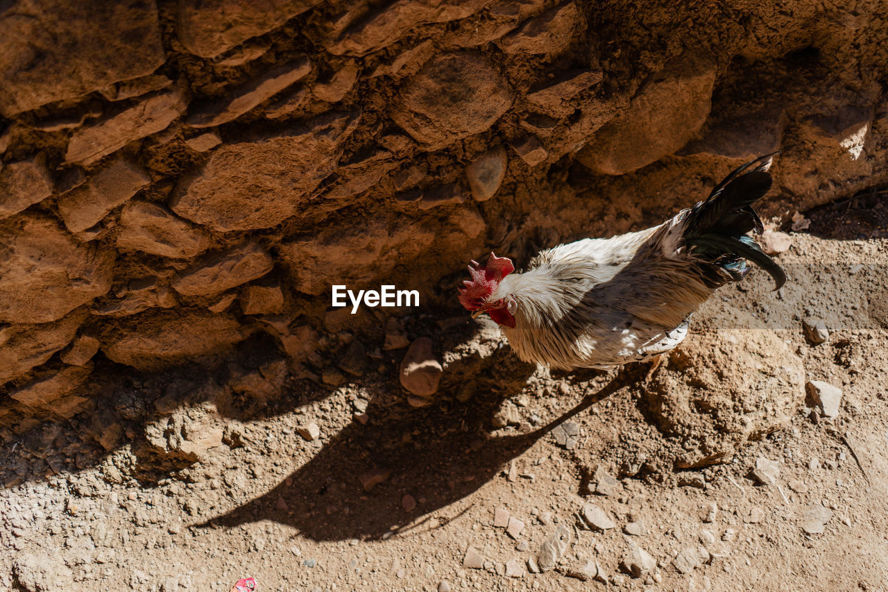 animal themes, animal, bird, vertebrate, domestic animals, domestic, chicken - bird, pets, livestock, one animal, mammal, chicken, sunlight, high angle view, nature, no people, shadow, day, solid, rock, outdoors, aggression