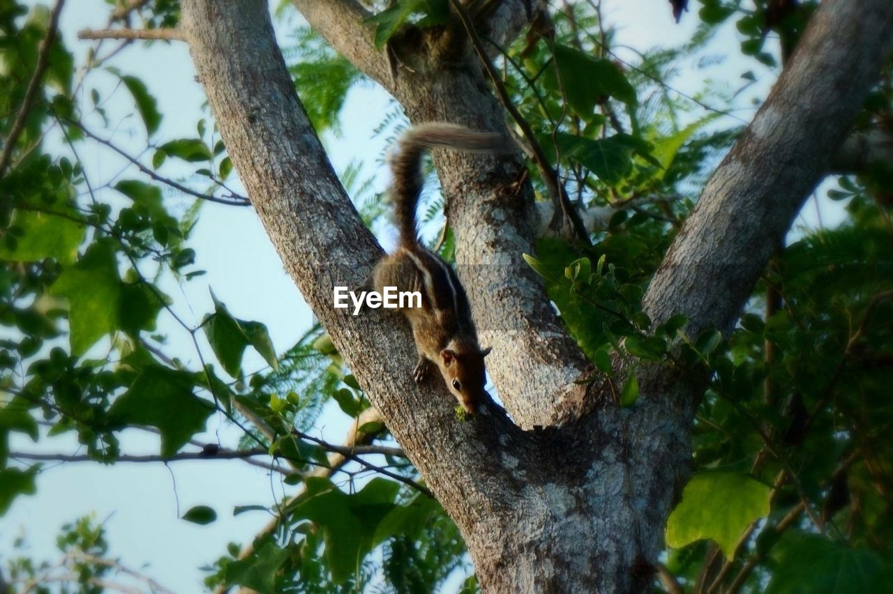 tree, animal, animal themes, one animal, mammal, plant, branch, animal wildlife, vertebrate, tree trunk, low angle view, animals in the wild, trunk, no people, nature, focus on foreground, squirrel, rodent, day, primate, outdoors