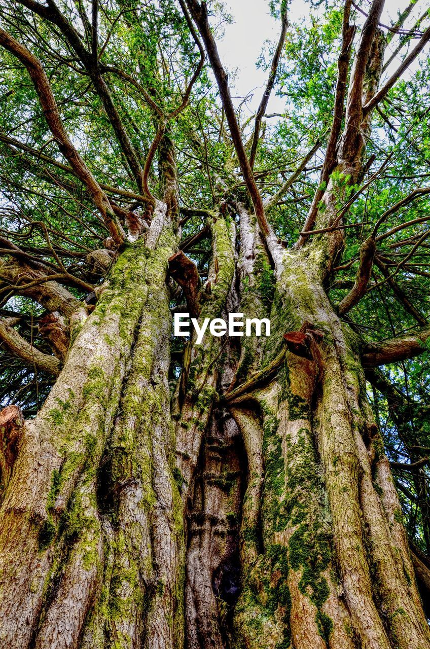 tree, plant, tree trunk, trunk, growth, forest, beauty in nature, nature, tranquility, no people, branch, green color, day, low angle view, land, plant part, moss, outdoors, woodland, root, bark, tree canopy