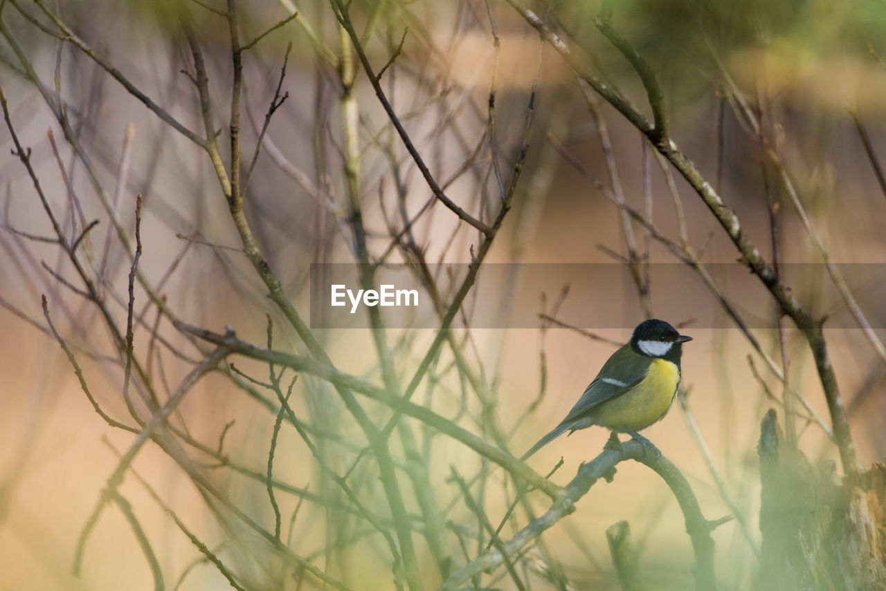 bird, vertebrate, animal themes, animal, animals in the wild, animal wildlife, one animal, perching, plant, selective focus, no people, branch, nature, day, tree, outdoors, great tit, green color, songbird, focus on foreground