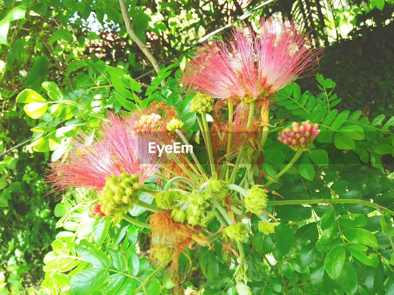 flowering plant, flower, plant, beauty in nature, growth, freshness, fragility, vulnerability, close-up, flower head, inflorescence, pink color, petal, nature, no people, green color, day, plant part, leaf, outdoors