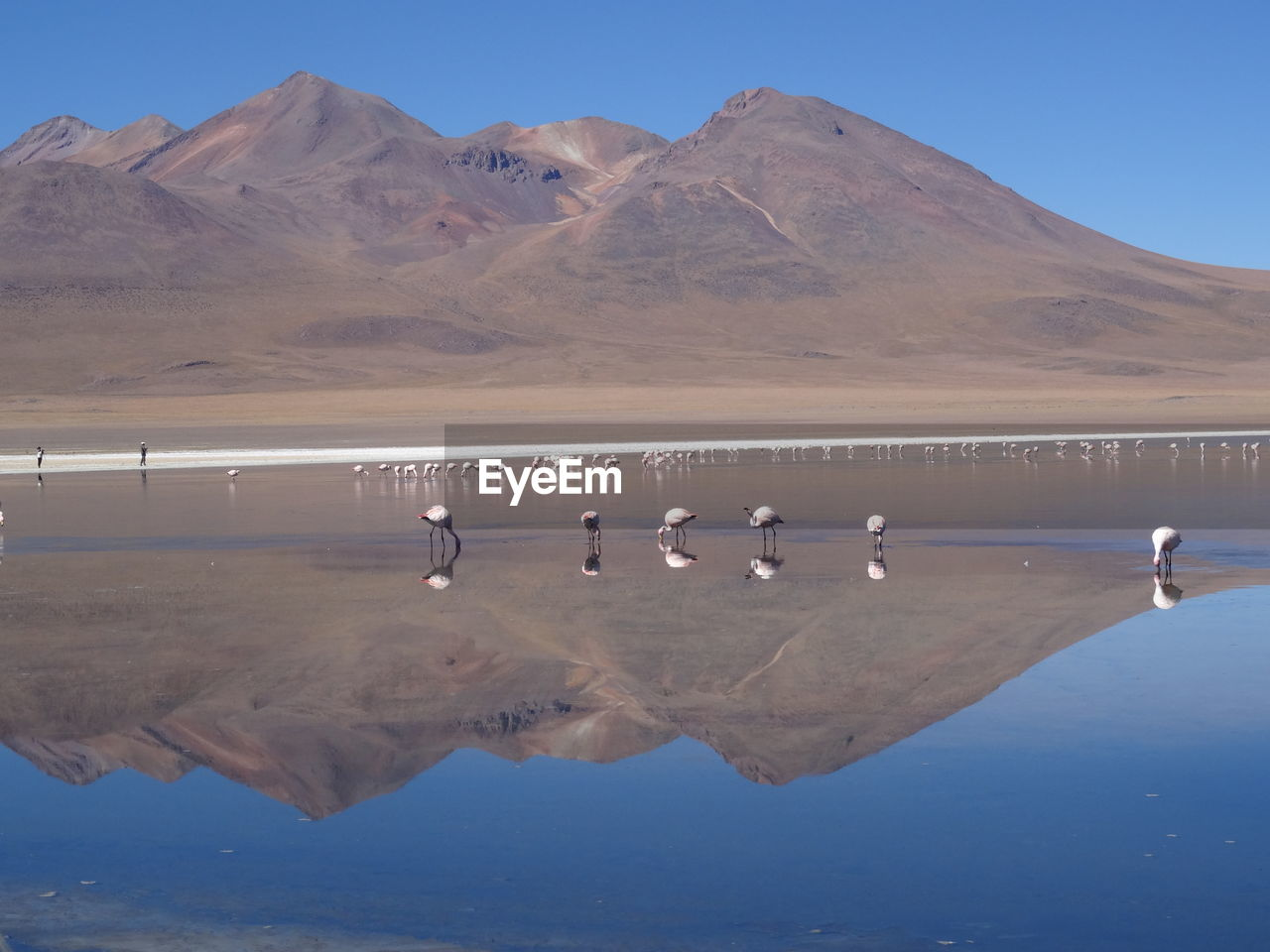 Flamingoes In Lake With Mountains Reflection