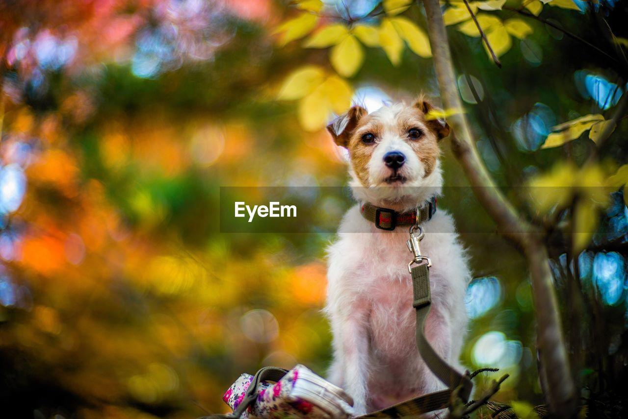 one animal, animal themes, animal, mammal, canine, dog, domestic, pets, domestic animals, vertebrate, looking at camera, portrait, focus on foreground, plant, tree, day, no people, nature, pet collar, outdoors, animal head, mouth open