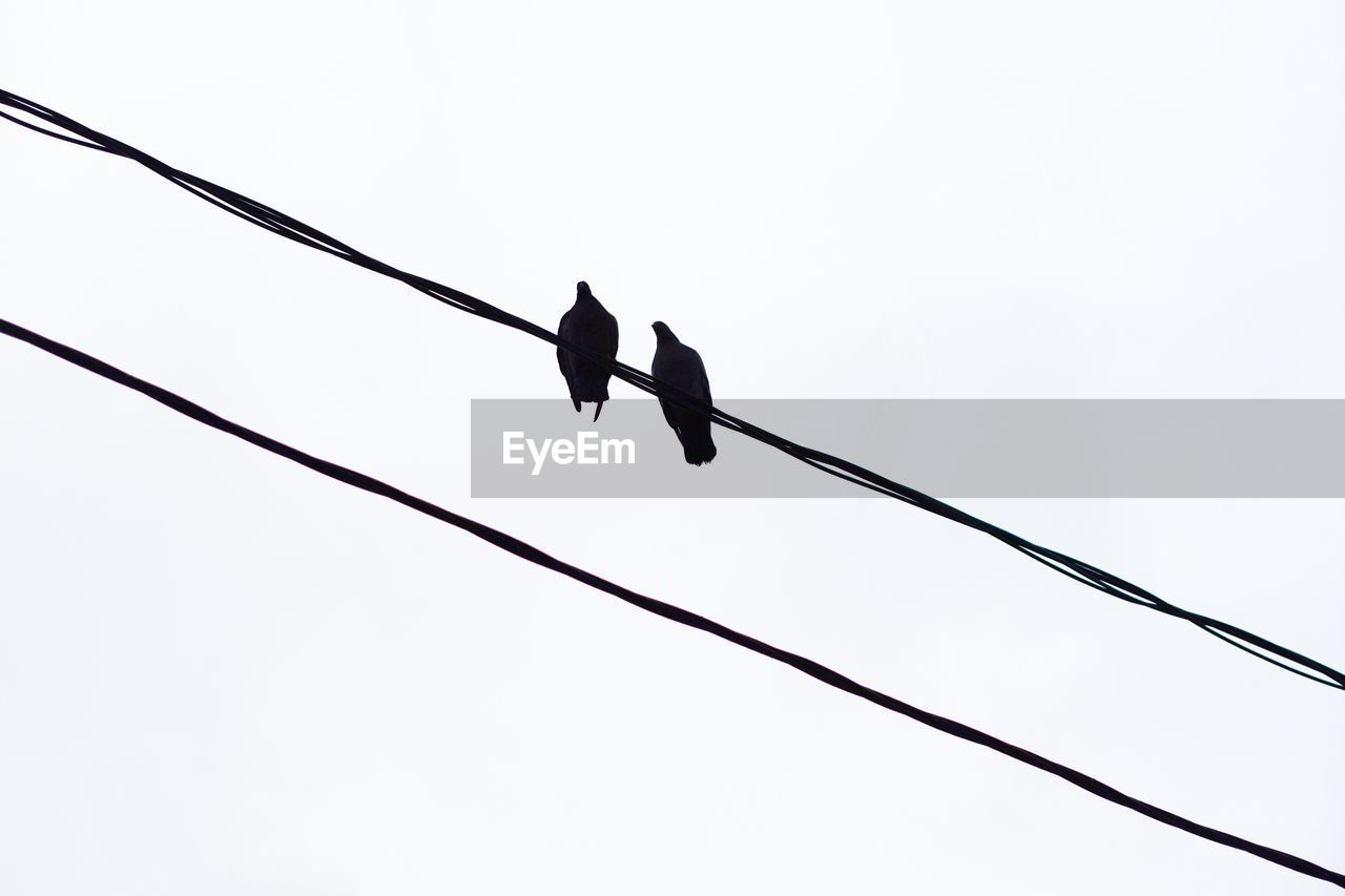 bird, low angle view, vertebrate, animal themes, animal wildlife, animal, animals in the wild, sky, cable, one animal, no people, flying, clear sky, nature, power line, spread wings, day, silhouette, electricity, outdoors, power supply