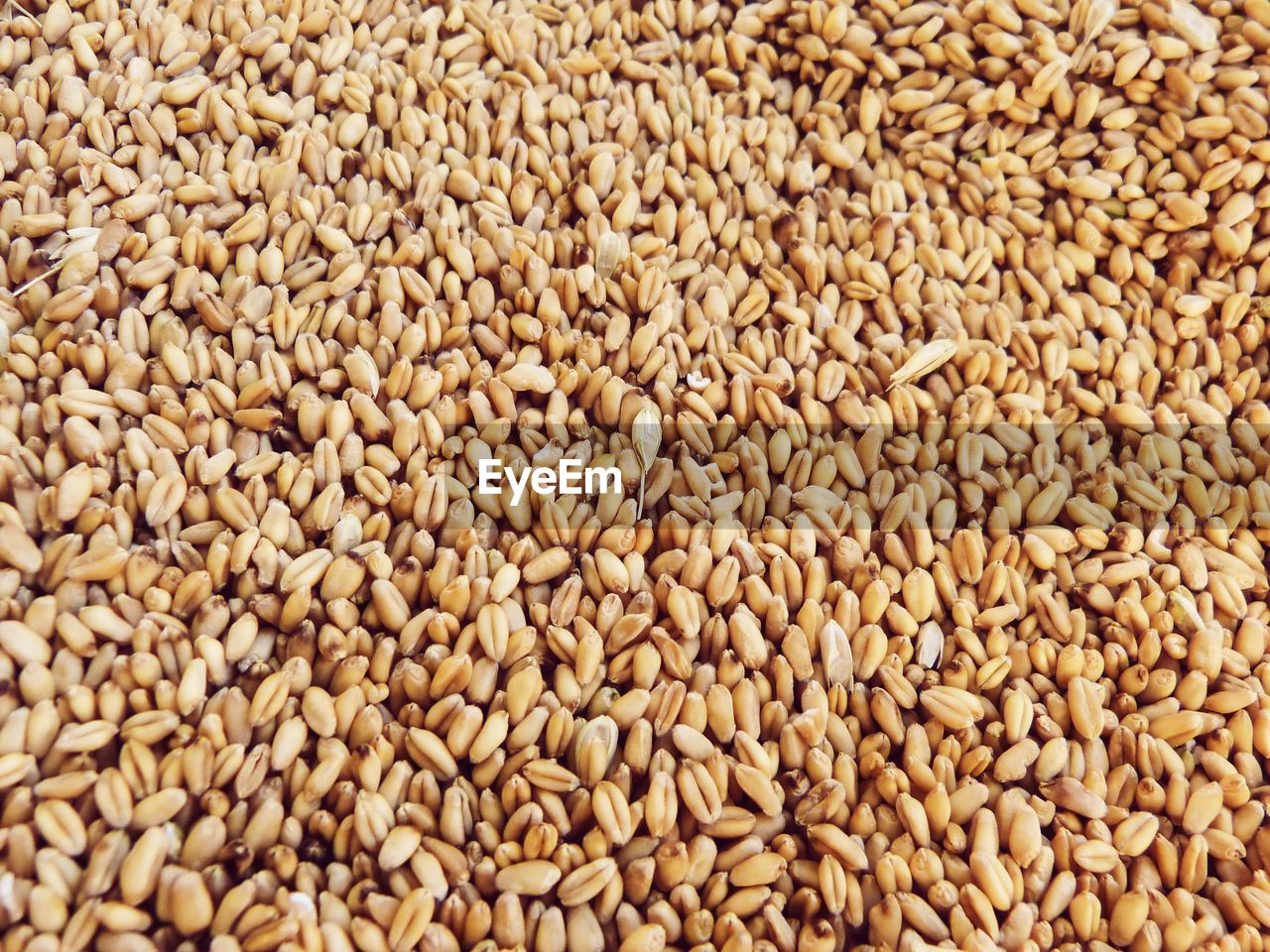 food and drink, food, backgrounds, cereal plant, crop, large group of objects, raw food, freshness, plant, seed, healthy eating, abundance, full frame, agriculture, close-up, nature, wellbeing, no people, wheat, barley, vegetarian food